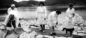Historical image of people sorting clipfish on rocks by the seaside