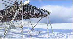 Stockfish on a drying rack, winter landscape in the background